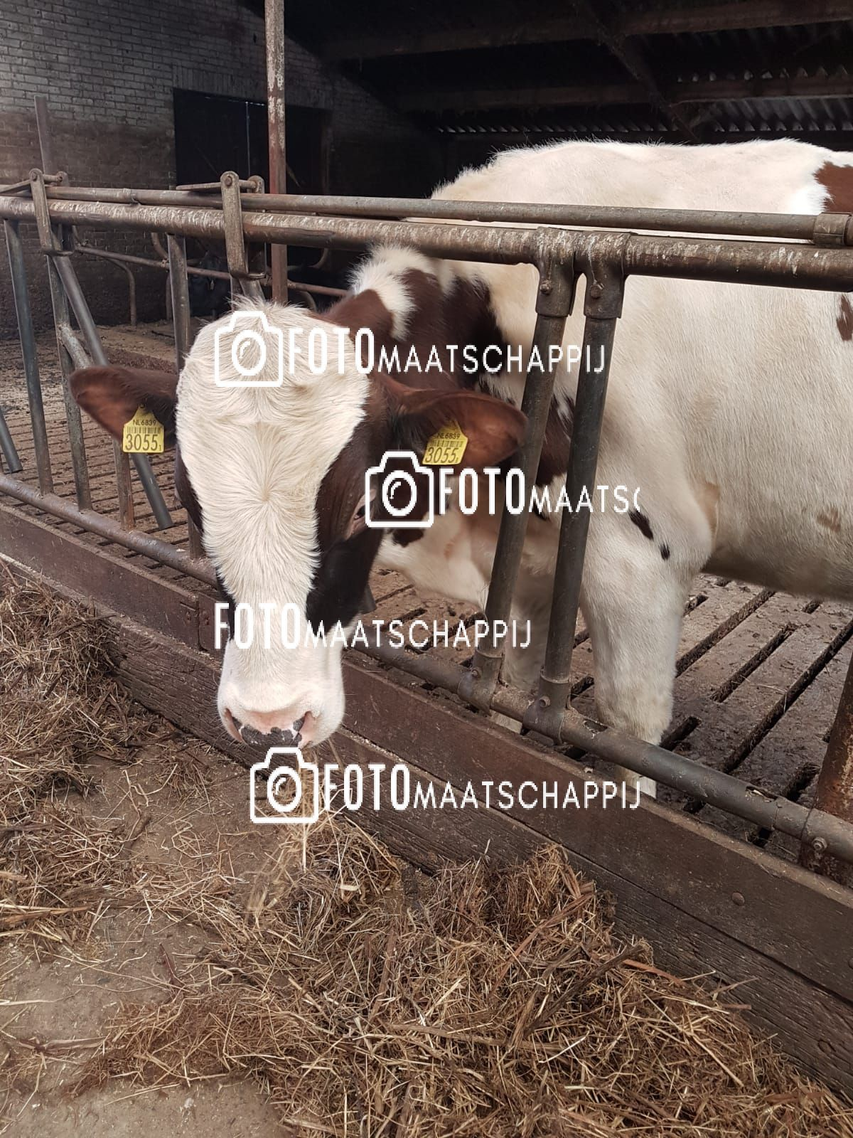 koe in stal 2