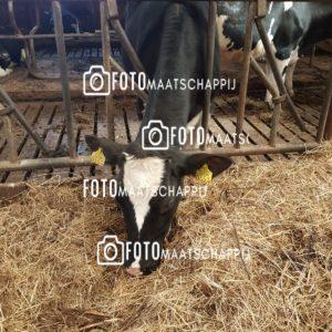 Koe in de stal